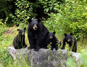 Bear Watching - Aventure Inukshuk